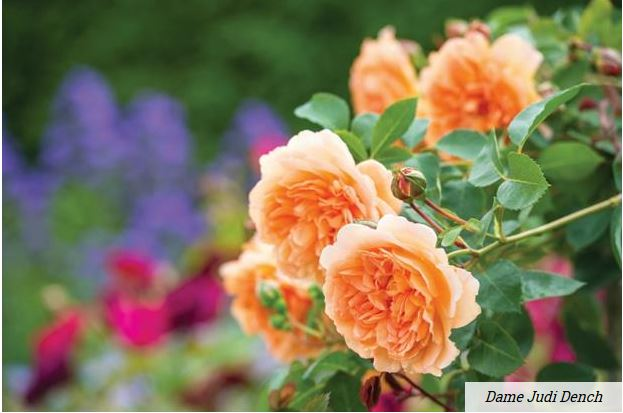 A rose is a rose is a rose….unless it's named 'Dame Judi Dench'