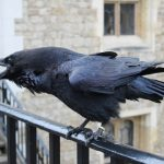 R.I.P. Munin – the Tower of London's oldest raven dies at 22.